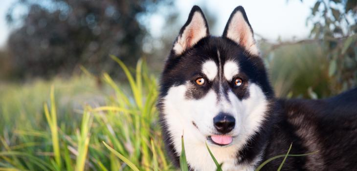 A parti-eyed Siberian Husky which has both blue and brown colouring within the one eye