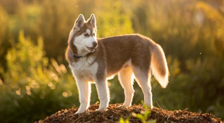 All about keeping your arctic breed happy and healthy