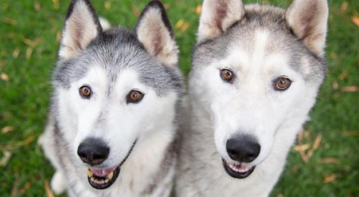 Two Huskies sitting looking at the camera