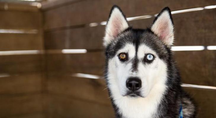 A sad and lonely Siberian Husky waits in an animal shelter for someone to give him a new home and a new life