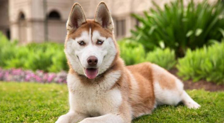 Red and white Siberian Husky with blue eyes lying in a garden