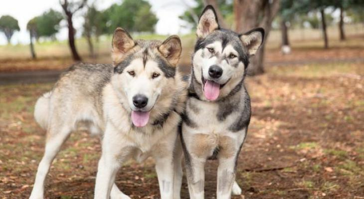 A pair of Alaskan Malamutes looking curiously at the camera