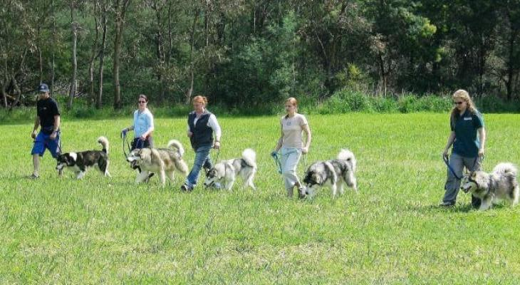 A group of Alaskan Malamutes doing obedience training