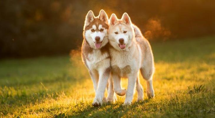 Thinking about buying a Siberian Husky, Alaskan Malamute, Akita or Samoyed puppy?