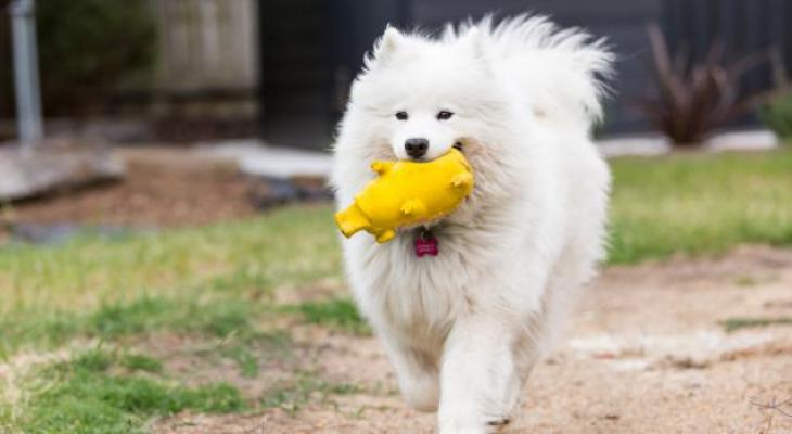 Samoyed dog running with his toy