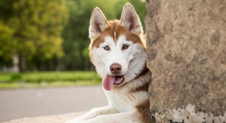 Red & white Siberian Husky lying down next to a tree