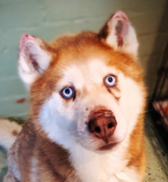 Arrow is a red and white 5 year old male Husky