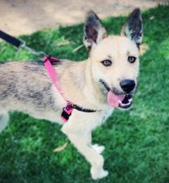 Bella is a very energetic young female Husky X Wolfhound puppy