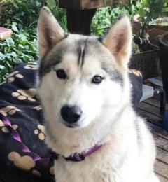 Bella is a one year old grey and white female Siberian Husky needing a new home