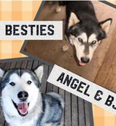 BJ & Angel are a male and female bonded pair of Alaskan Malamutes