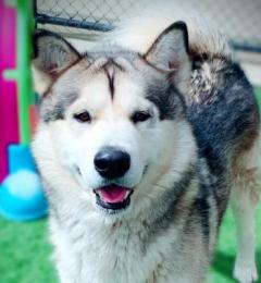 Bolt is a large grey and white Malamute boy
