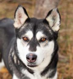 Shakira is a six year old black and white female Malamute