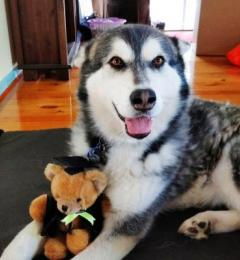 Freya is a 6 year old black and white female Malamute needing a new or foster home