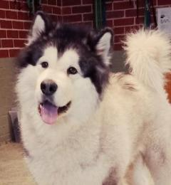 Hitch is a 4 year old grey and white male Malamute needing a new home