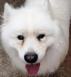 Joji is a 3 year old male Samoyed