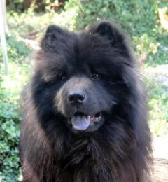 Jordy is a black-coated Samoyed cross Chow Chow dog who needs a new or foster home