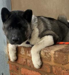 Kaido is a 1 year old black and white male Akita Inu