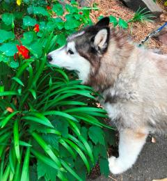 Kiba the 8 year old grey and white female Siberian Husky
