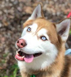 Leia is a 3 year old red and white female Husky