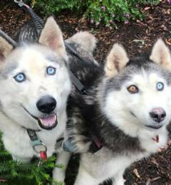 Micah & Star - male & female Huskies