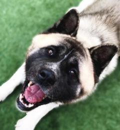 Midnight is a handsome 3 year old male Akita