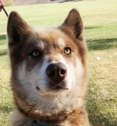 Rory the three year old red and white female Malamute Husky cross