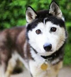 Snowy is a black and white female Siberian Husky who is approximately 5 years old