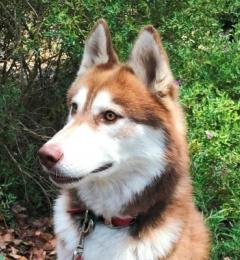 Taro is a 3 year old red and white male Siberian Husky needing a new home