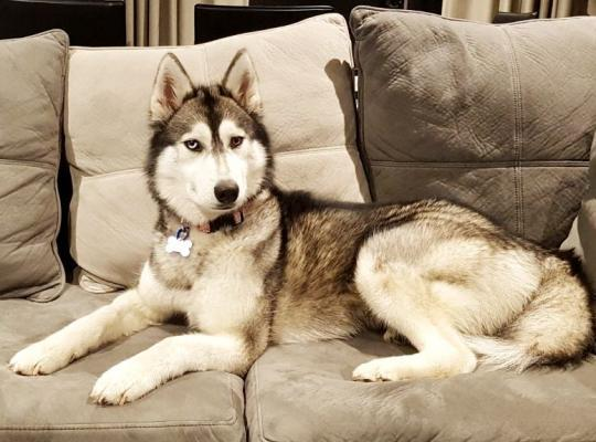 Angel is a two year old grey and white female Husky for foster or adoption