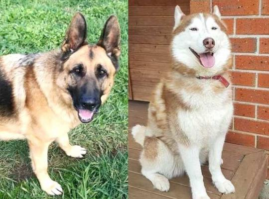 Nugget the 5 year old male German Shepherd and Asha the red & white 5 year old female Husky