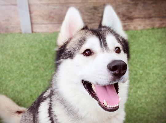 Max is a 3 year old grey and white Husky boy needing a new or foster home