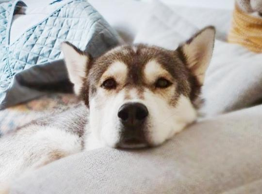 Meeko is a 6 year old grey and white female Malamute
