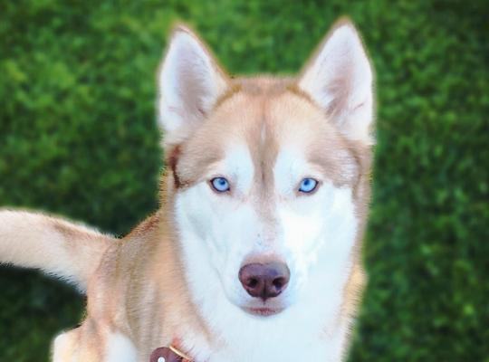 Nala is a red and white female Husky in desperate need of a special home