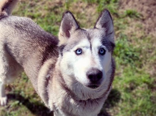 Skye is an 8 year old grey and white female Husky with blue eyes