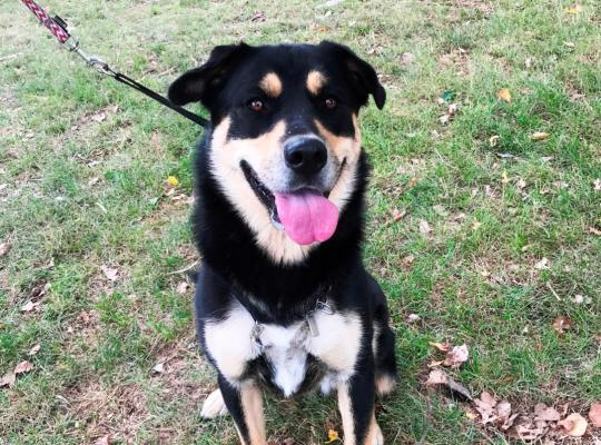 Thea is a two year old black and tan female Malamute cross Rottweiler