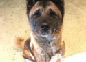 Nakita is a 9 year old black and tan female Akita needing a new home