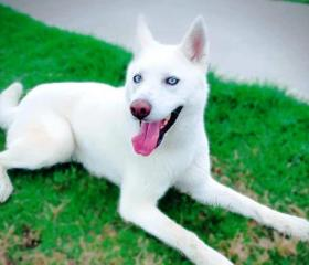 Buddy is a white 3 year old male Husky Samoyed cross