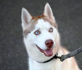HanHan is a 1 year old red and white Husky boy