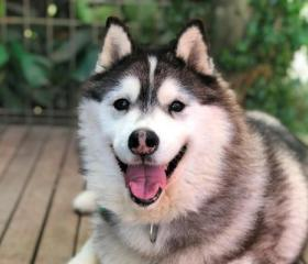 Kiba is an 8 year old female Husky with medical issues