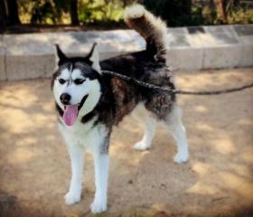 Leyla is a 3 year old grey and white female Husky