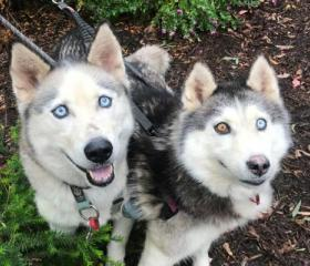 Micah the grey and white male Husky with blue eyes and Star the female grey and white Husky with one blue and one brown eye