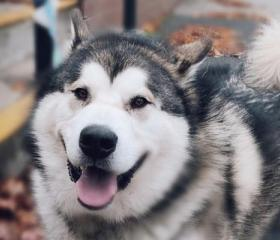 Tyler is a 2 year old grey and white Malamute boy