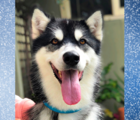 Winter is a 4 year old black and white female Alaskan Malamute